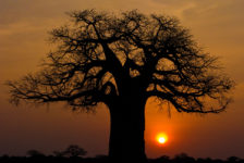 Africa's 2000-year-old trees of life are suddenly dying off